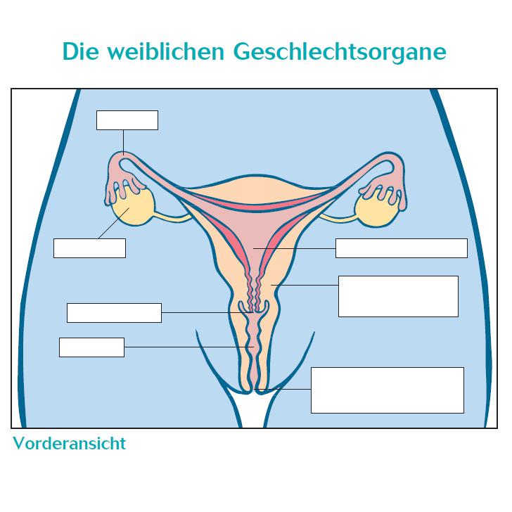 """Übung """"Die weiblichen Geschlechtsorgane"""""""