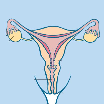 Die weiblichen Geschlechtsorgane