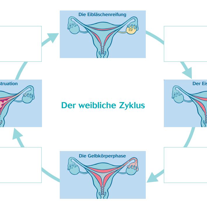 Weiblicher Zyklus