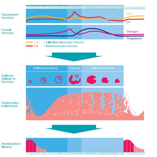 Wie Funktioniert Der Weibliche Zyklus: Zyklus Und Menstruation